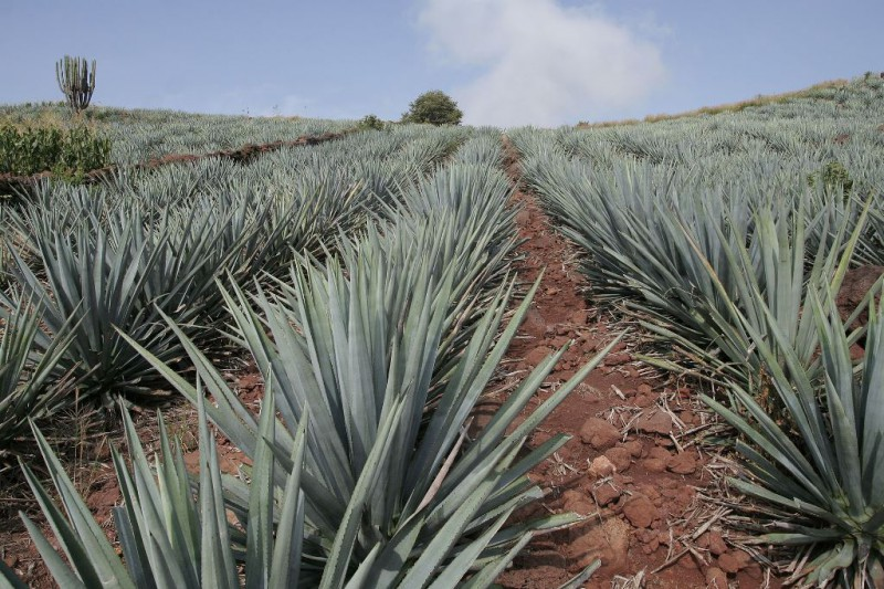 Agave_Tequila_Jalisco_2