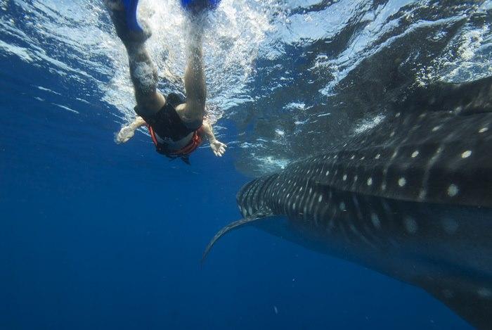 Viaje a la isla de Holbox para nadar con el tiburón ballena